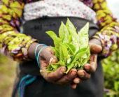 Sri-Lanka-Erlebnisreise-Teeplantage