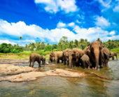Sri-Lanka-Erlebnisreise-Elefantenherde