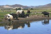 Mongolei-Wanderreise-Yakherde-Orkhon Fluss