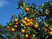 Orangenbaum, Zypern, Silvester