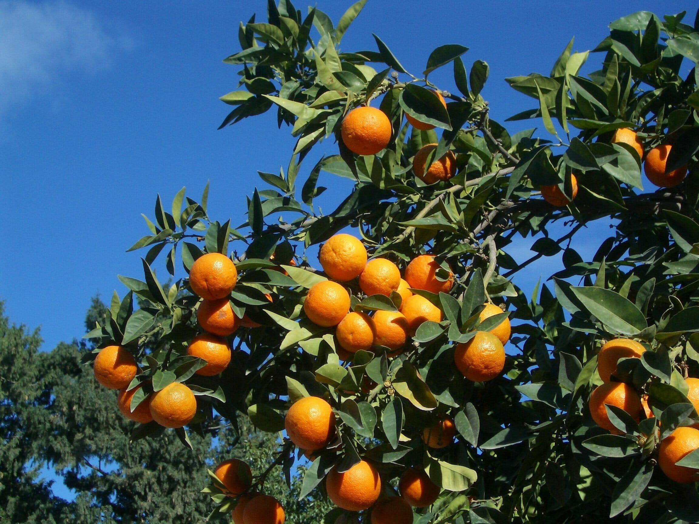 Nordzypern-Silvesterreise-Orangenbaum