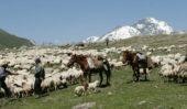 georgien-reise-viehtrieb-kasbegi