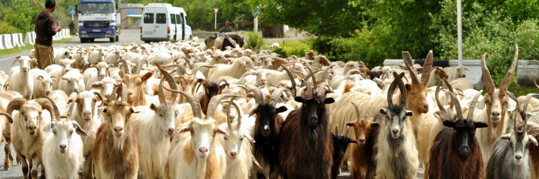 Georgienreise Schafe und Ziegen unterwegs