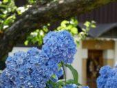 deutschland-wanderreise-boehmische-schweiz-hortensien