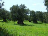 italien-apulien-wanderreise-olivenbaum