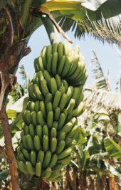 Kanaren-Wanderreise-Teneriffa-Bananen