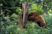 Slowakei-Wanderreise-Braunbär