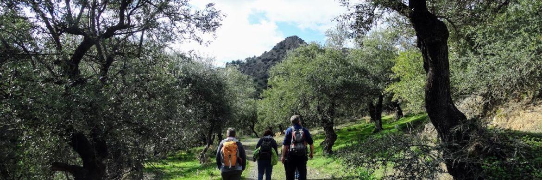 Kreta-wanderreise-olivenbaum-kultur
