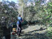 Kreta-wanderreise-olivenernte