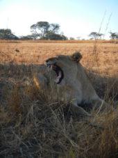 Namibia-Erlebnisreise-Löwin