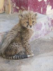 Namibia-Erlebnisreise-Gepardenbaby