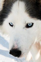 winterreise-finnland-husky