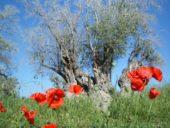 Nordzypern-Wanderreise-Olivenhain-Mohn