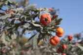 armenienreise-aprikosen-azatschlucht