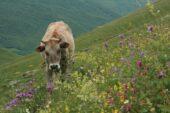 Georgien-Wanderreise-Kuh-auf-Blumenwiese