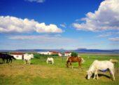 Island-Erlebnis- und Wanderreise-Pferde