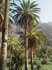 Kanaren-Wanderreise-La Gomera-Palmen-Valle Gran Rey