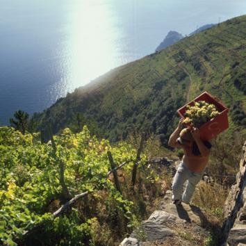 Italien-Wanderreise-Cinque Terre-Traubenernte