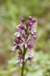 Georgien-Wanderreise-Kleiner-Kaukasus-Kharagauli-Nationalpark-Blume
