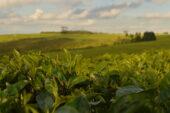 malawi-erlebnisreise-teeplantage