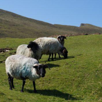irland-wanderreise-schafe-natur