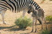 Namibia-Erlebnisreise-Zebras-Etosha
