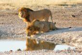 Nambia-Erlebnisreise-Löwen