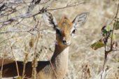 Namibia-Erlebnisreise-Antilopen-Impala