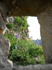 Montenegro-Wanderreise-Blumen-Festungsmauer-Kotor