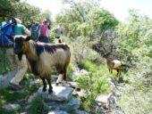 Montenegro-Wanderreise-Ziegen