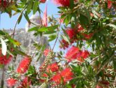 Montenegro-Wanderreise-Budva-Blütenpracht
