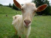Bosnien-und-Herzegowina-Wanderreise-Ziege
