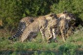 Ranger-Ausbildung-Südafrika-Leopard