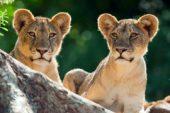Ranger-Ausbildung-Südafrika-Löwe