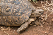 Ranger-Ausbildung-Südafrika-Schildkröte