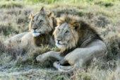 Ranger-Ausbildung-Kenia-EcoQuest-Löwe