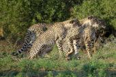 Ranger-Ausbildung-Südafrika-Leoparden