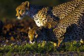 Ranger-Ausbildung-Südafrika-Gepard