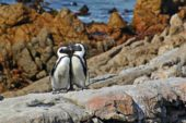 Südafrika-Erlebnisreise-Pinguine-Boulders-Beach