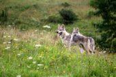 Slowakei-Wanderreise-Wölfe