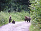 Slowakei-Wanderreise-Bärenfamilie