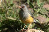 Äthiopien Individualreise Vogel Somali-Thrush