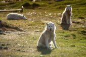 Grönland-Wanderreise-Polarwolf