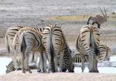 Namibia-Erlebnisreise-Zebras