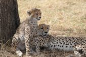 tansania-individualreise-geparde
