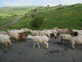 Armenien-Wanderreise-Schafe-unterwegs