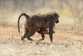 Tansania-Erlebnisreise-Lake Manyara Nationalpark-Pavian Mutter mit Kind-Wildtiere