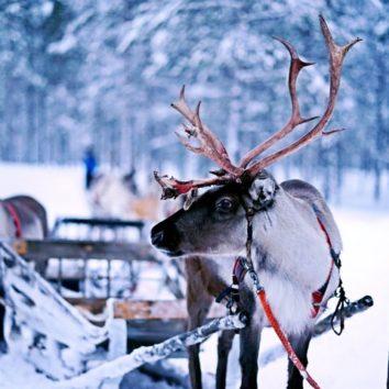 Finnland-Winterreise-Rentiere
