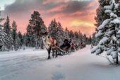 winterreise-finnland-rentiere-schlitten
