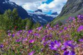 norwegen-wanderreise-blüte-nationalpark-jotunheimen